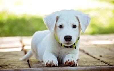 Pourquoi dresser son chien dès le plus jeune âge ?